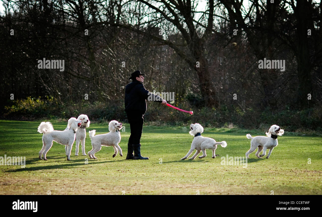 Man walking a team of five poodles - Stock Image