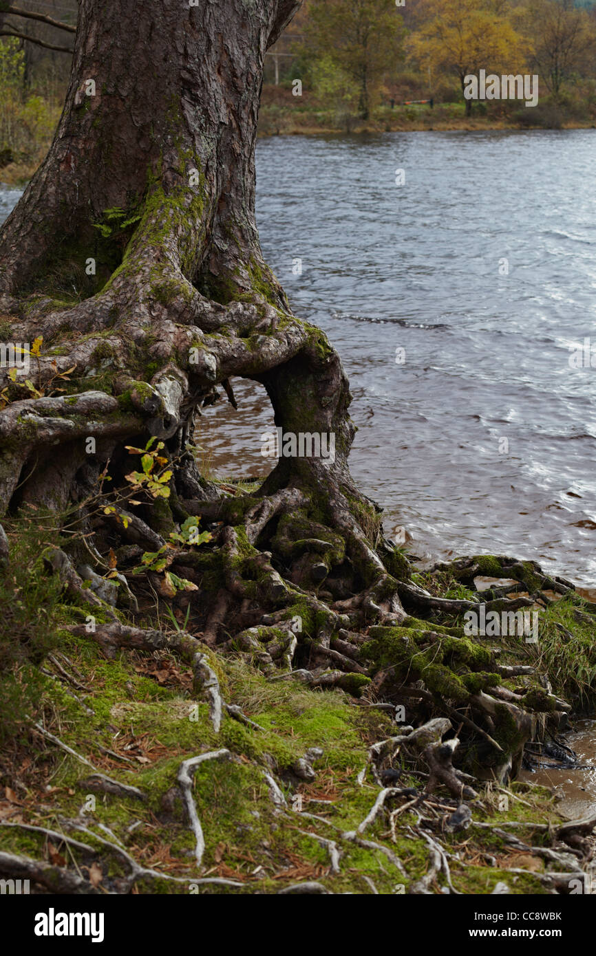 Tree root shapes by Loch Eck, Argyll, Scotland Stock Photo