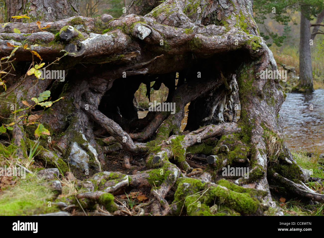 Tree root shapes by Loch Eck, Argyll, Scotland - Stock Image