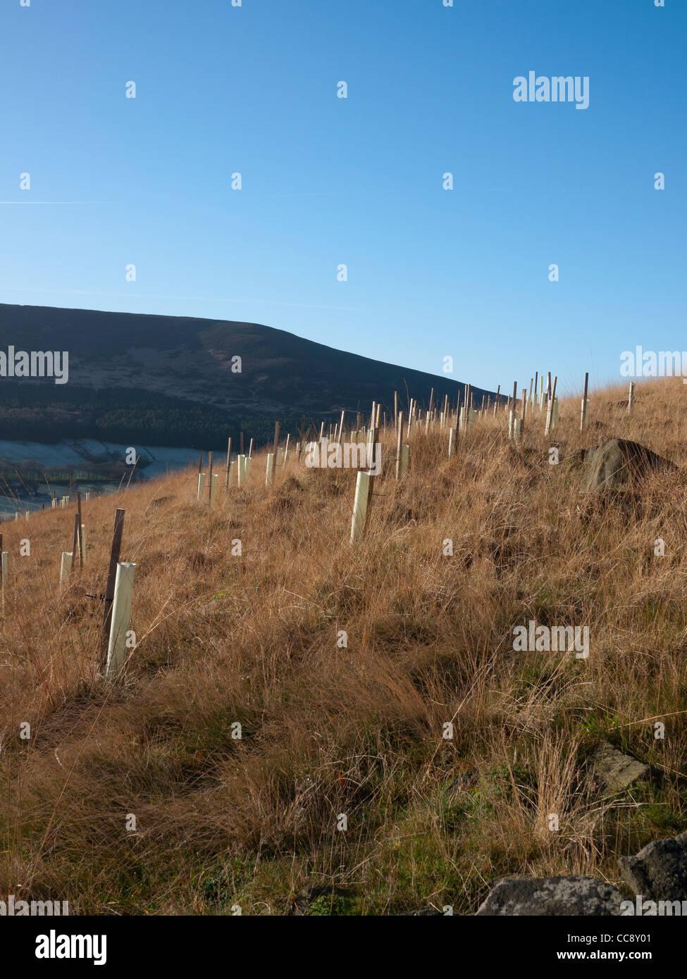 Tree samplings protected by tubes, Saddleworth, Lancashire, England, UK. - Stock Image