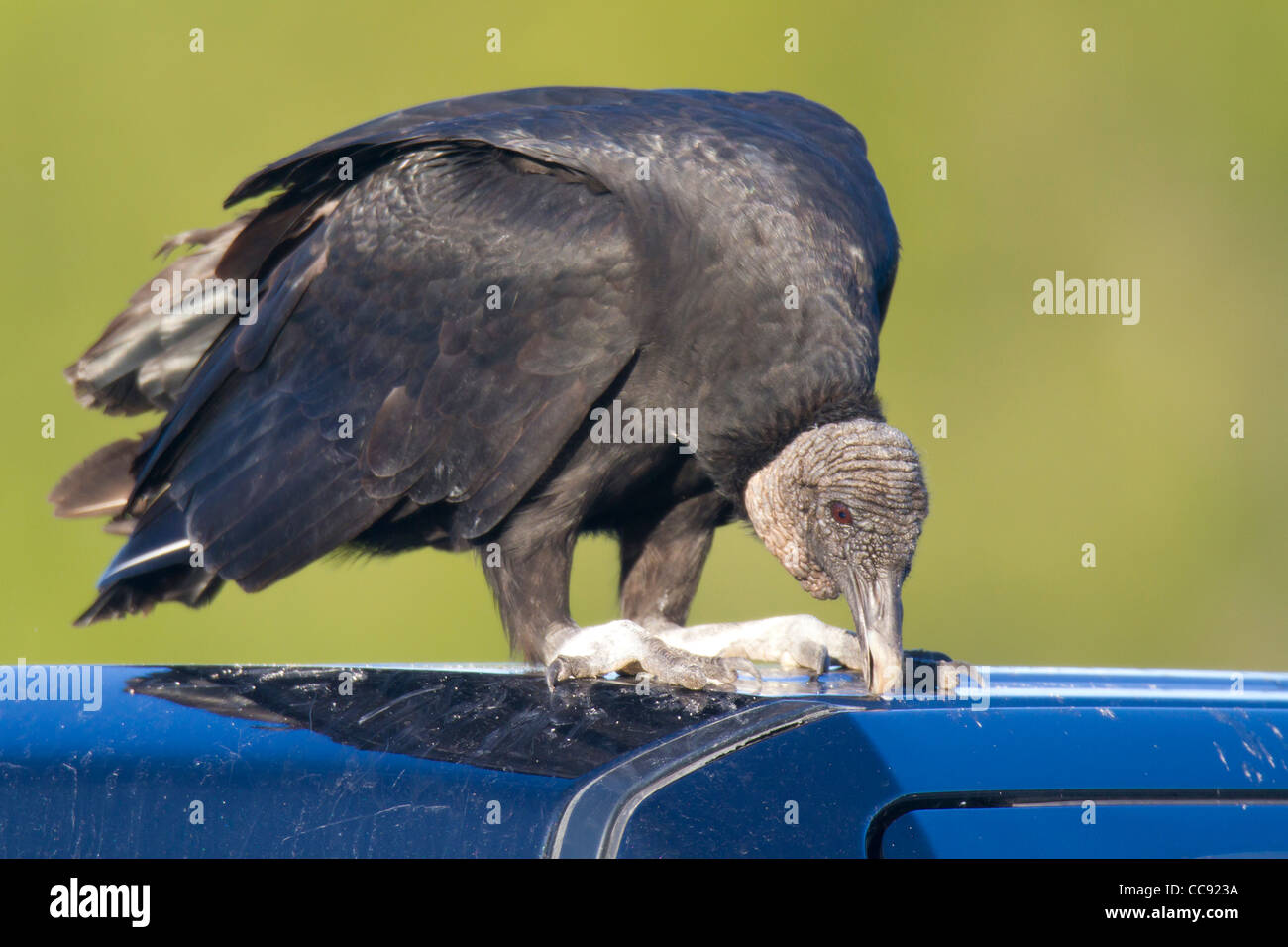 Black Vulture (Coragyps atratus) damaging the rubber seal on a car roof - Stock Image