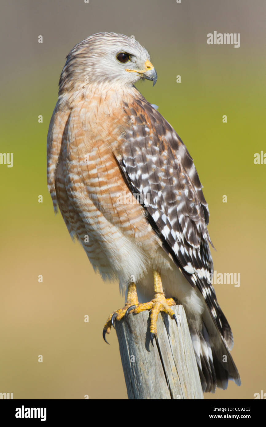 Florida Red-shouldered Hawk (Buteo lineatus floridanus) perched on a fencepost - Stock Image