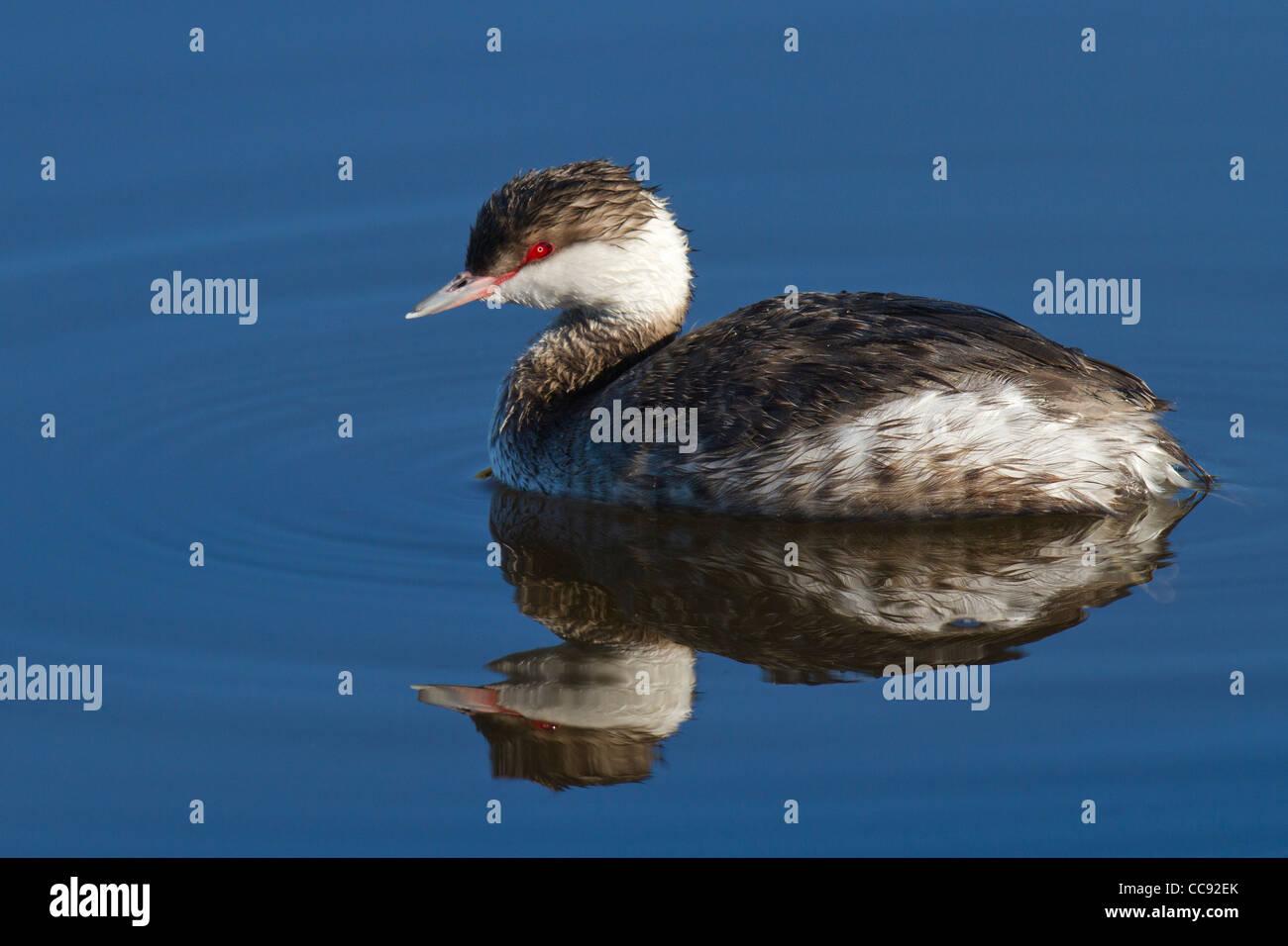winter plumaged Horned Grebe (Podiceps auritus) - Stock Image