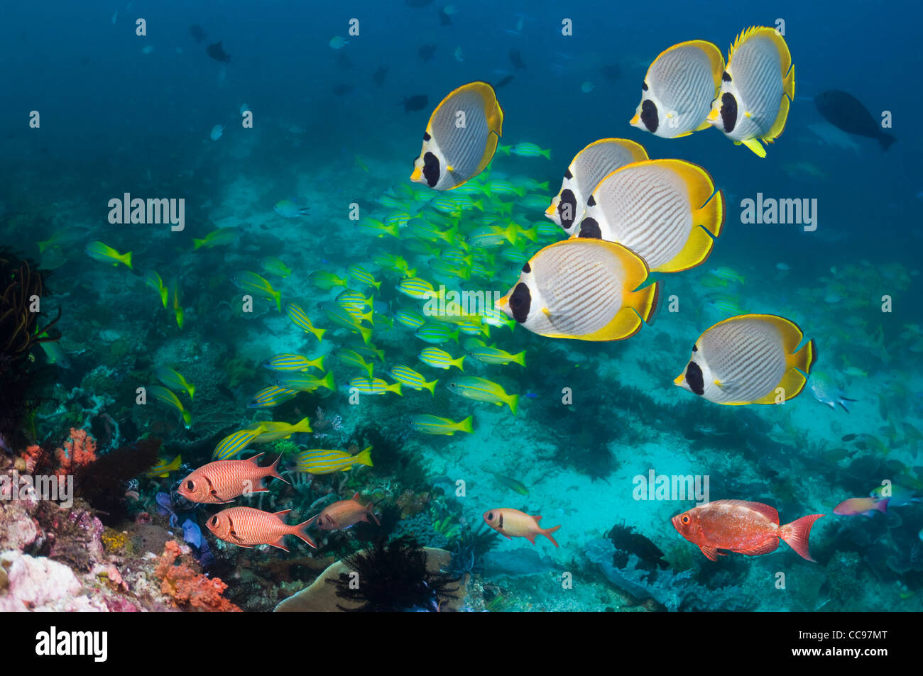Panda butterflyfish (Chaetodon adiergastos) swimming over coral reef with snappers and soldierfish. Indonesia. - Stock Image