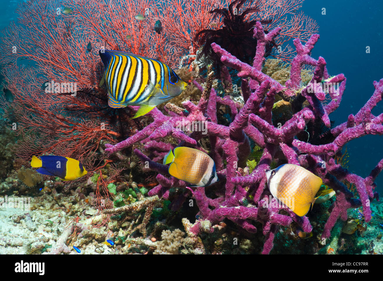 Regal angelfish and Klein's butterflyfish on coral reef - Stock Image