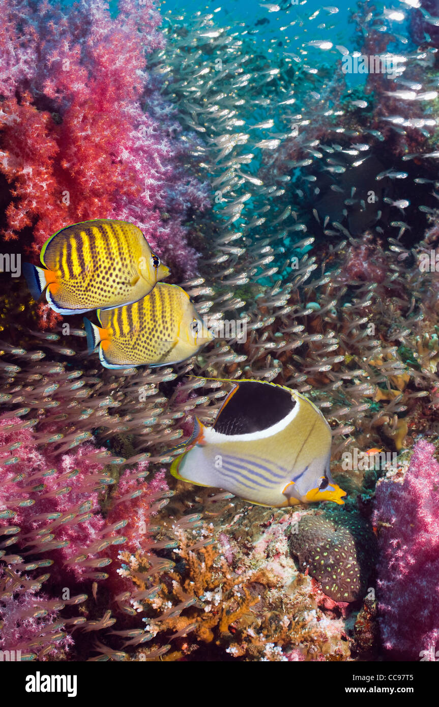 Coral reef scenery with a Saddled butterflyfish and a pair of Spot-banded butterflyfish.  Andaman Sea Thailand - Stock Image
