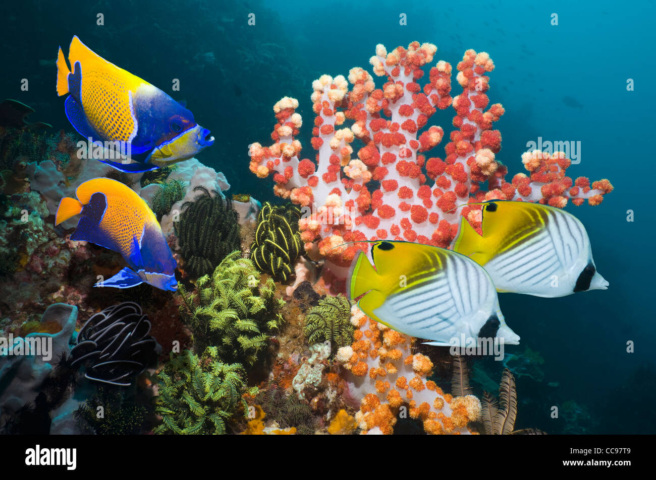 Coral reef scenery with Blue-girdled angelfish and Threadfin butterflyfish  Komodo National Park Indonesia - Stock Image