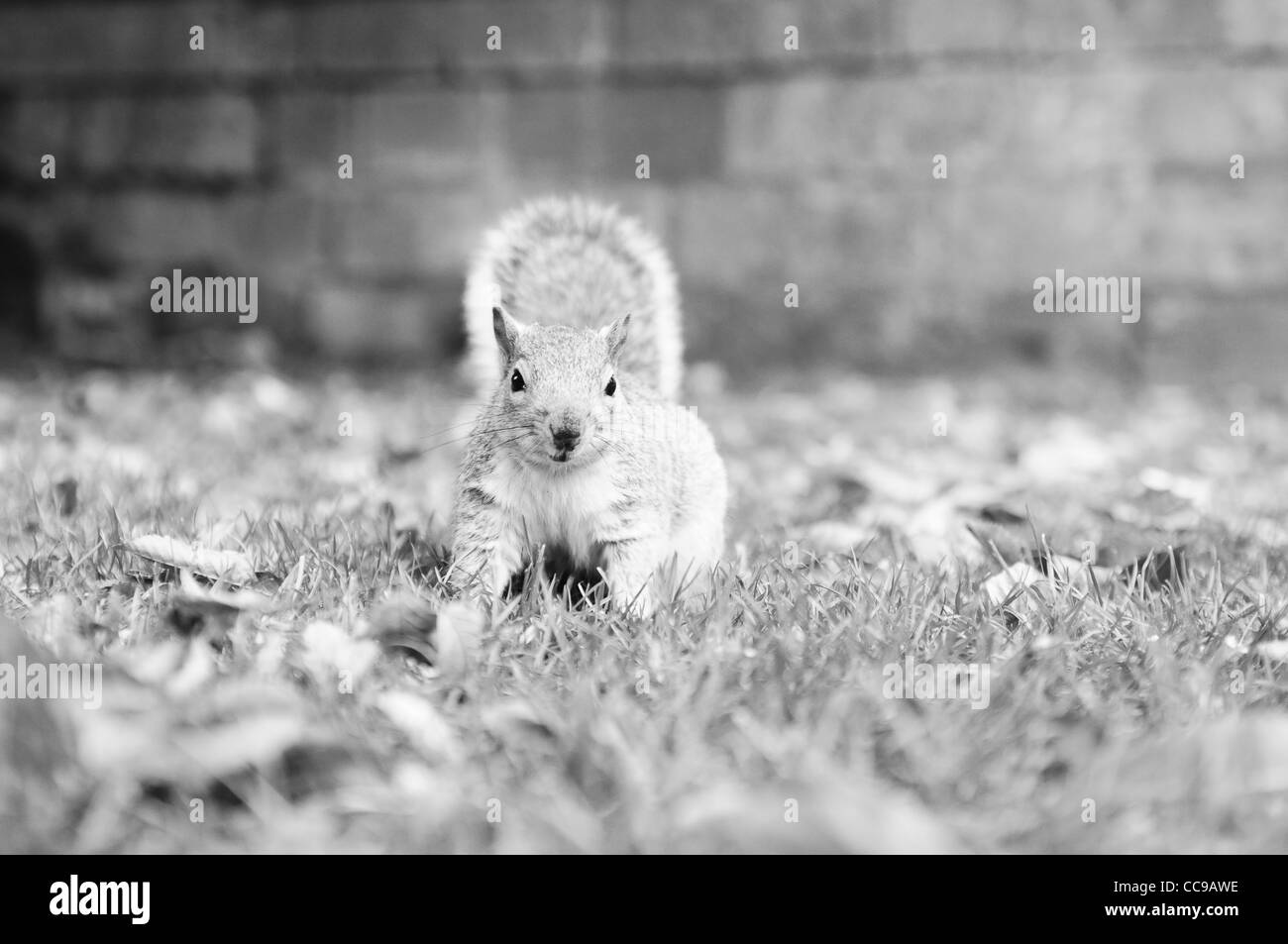 A low depth of field monotone photograph of a squirrel looking slightly off camera - Stock Image
