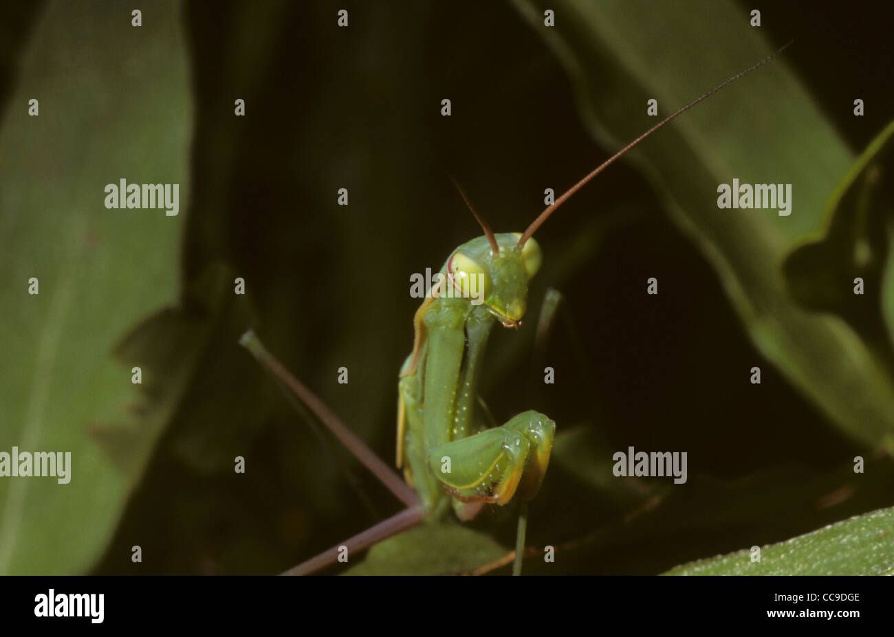 Preying Mantis. France - Stock Image