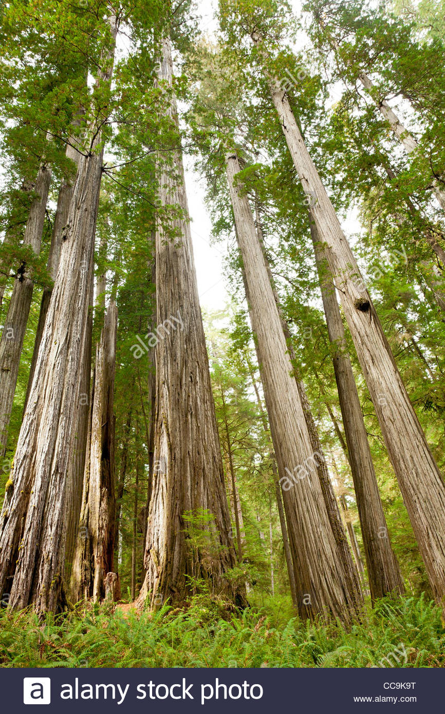 Redwood forest, Redwood National Park, California, United States - Stock Image
