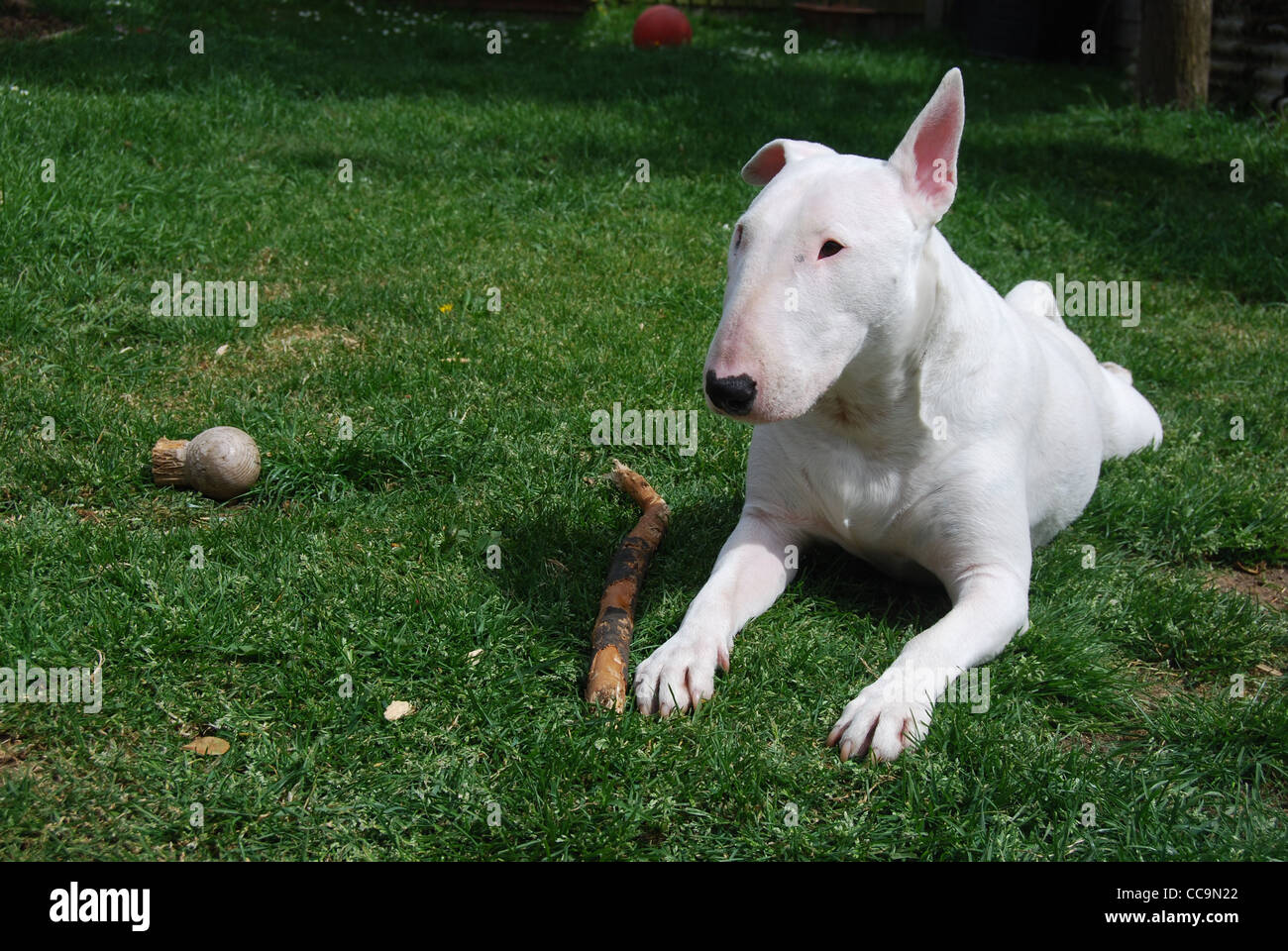 UK, England, Essex, White English Bull Terrier Laying Down in Green Grass With a Stick. - Stock Image