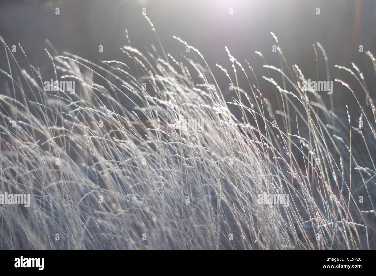 The sun on grasses on a freezing cold, frosty morning. Muted colours. A blurred background with grasses in focus - Stock Image