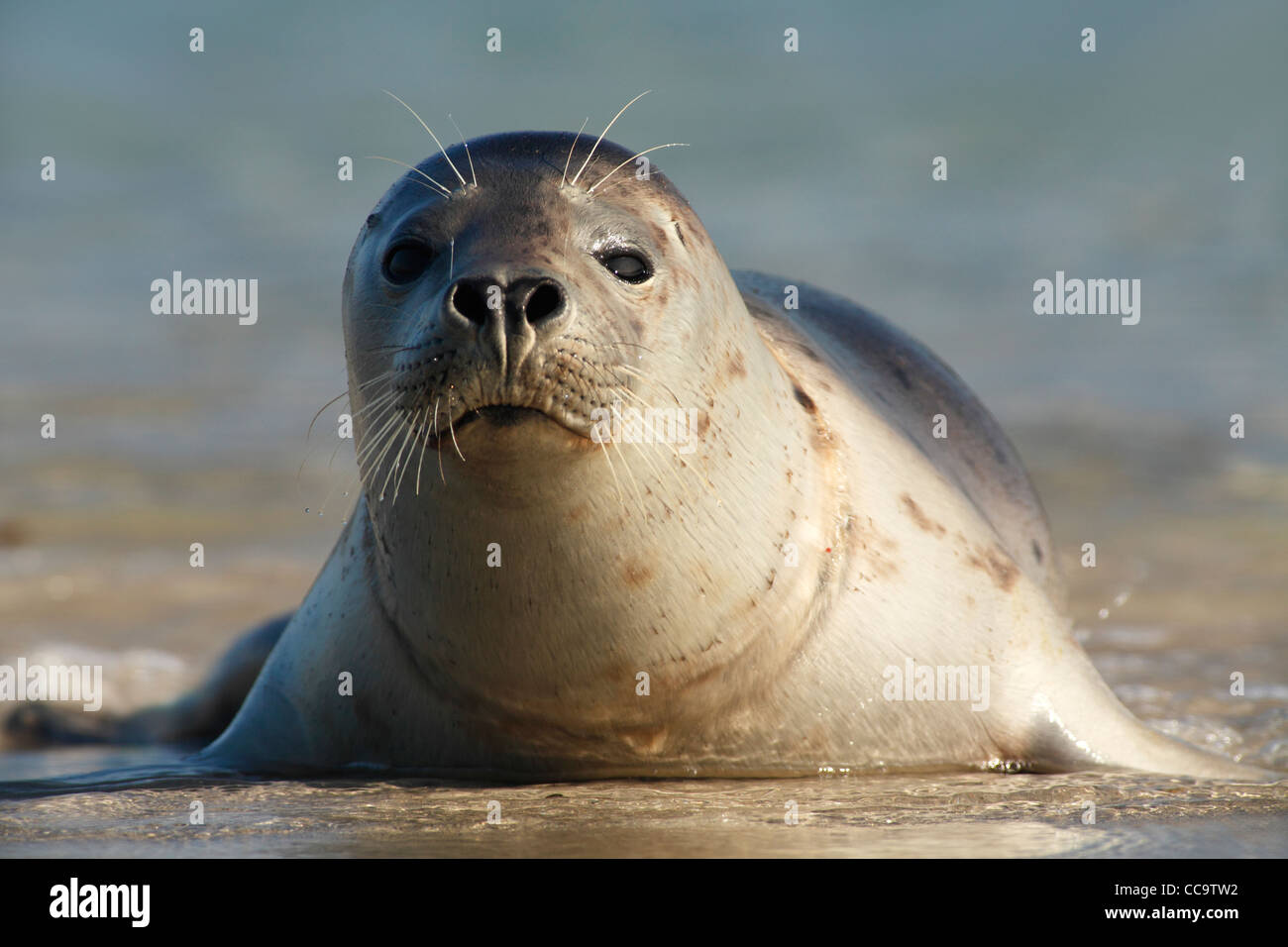 grey seal; Latin: Halichoerus grypus - Stock Image