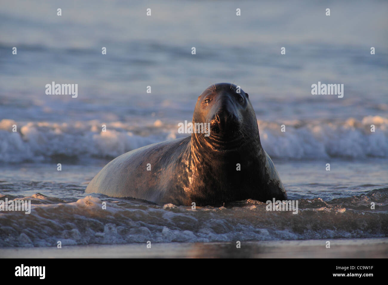 grey seal bull at sunset; Latin: Halichoerus grypus - Stock Image