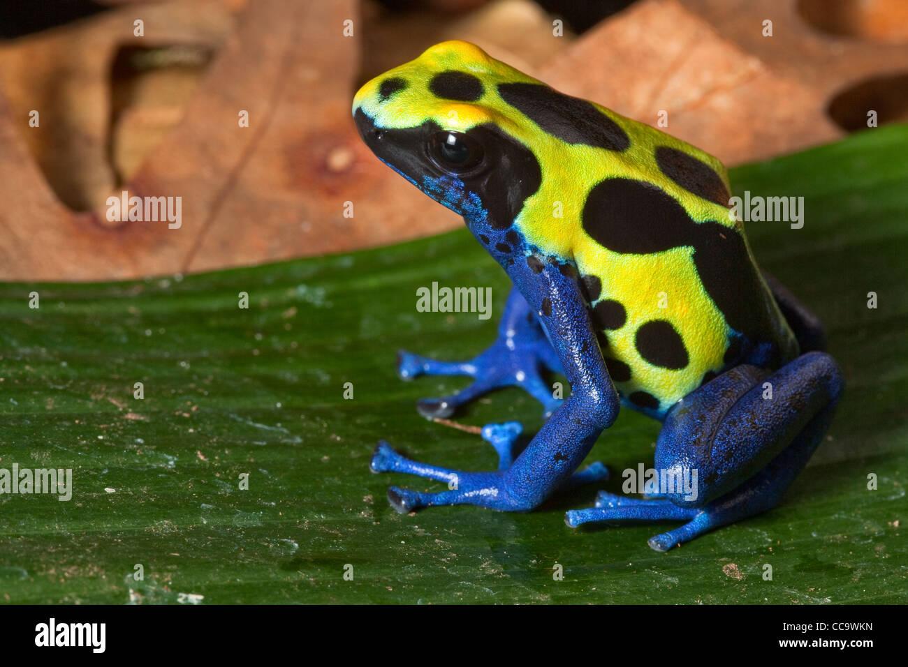 Deying poison dart frog, Dendrobates tinctorius, Amazon rain forest Suriname. A beautiful blue poisonous tropical - Stock Image