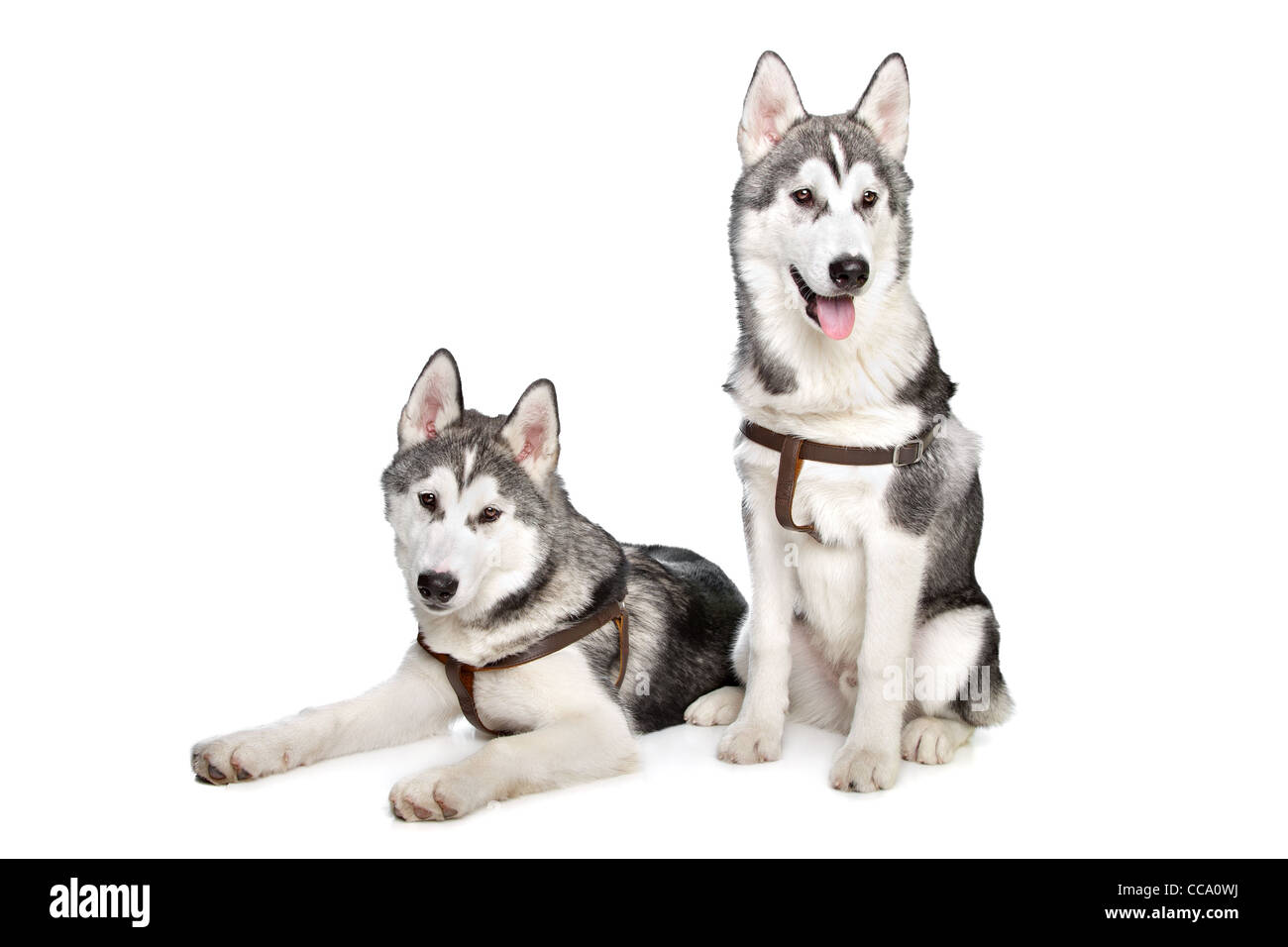 two Siberian husky puppies in front of a white background - Stock Image