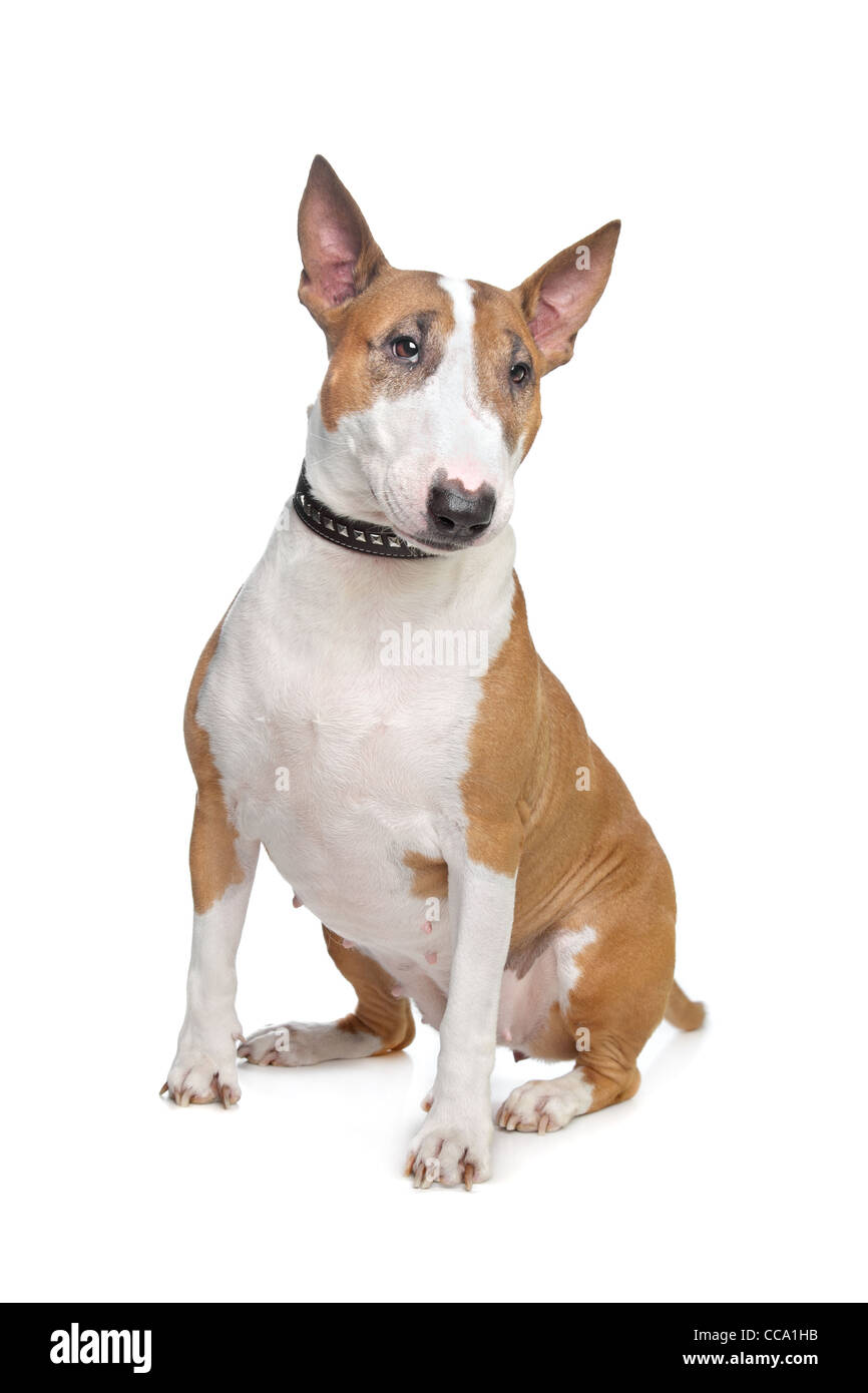 Bull Terrier in front of a white background - Stock Image