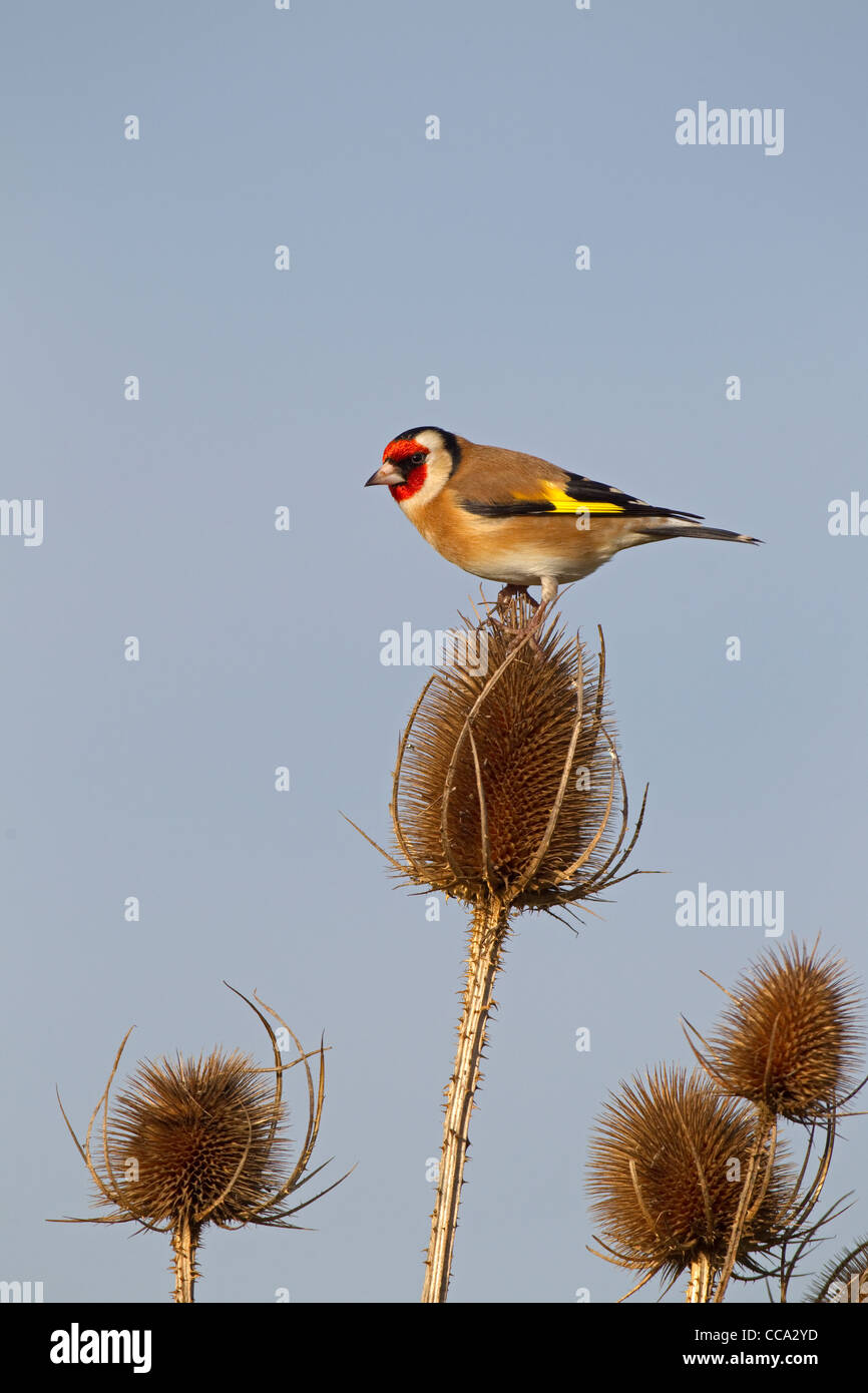 single Goldfinch Carduelis carduelis perched on teasal stem - Stock Image
