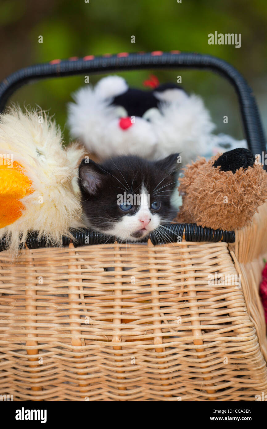 Kitten in the basket with cuddly toys, UK - Stock Image
