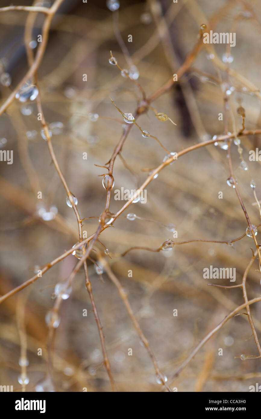 Marram Grass; Ammophila arenaria; roots with water droplets; Cornwall; UK - Stock Image