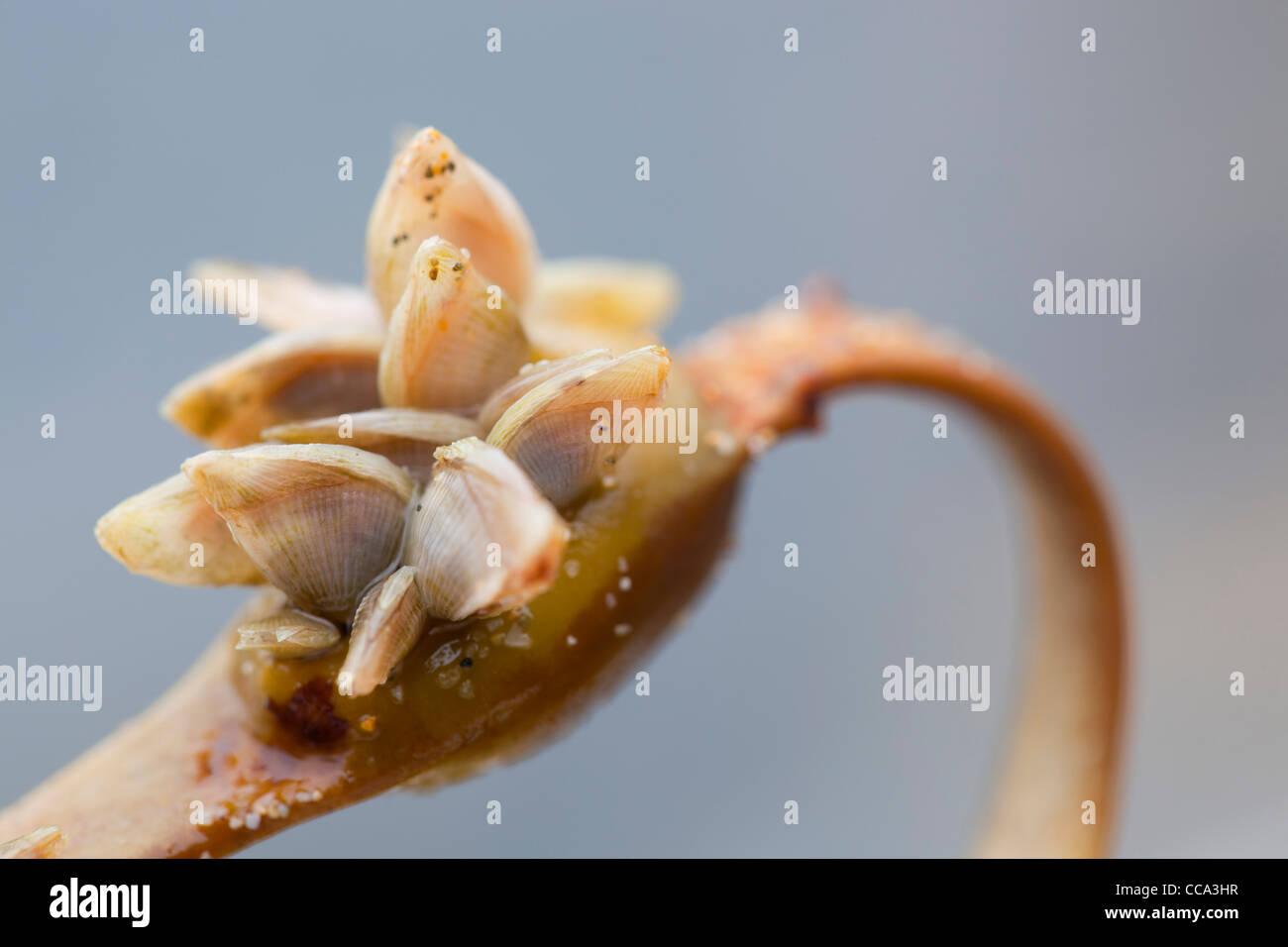 Buoy Barnacles; Dosima fascicularis; on seaweed; Cornwall; UK; winter - Stock Image