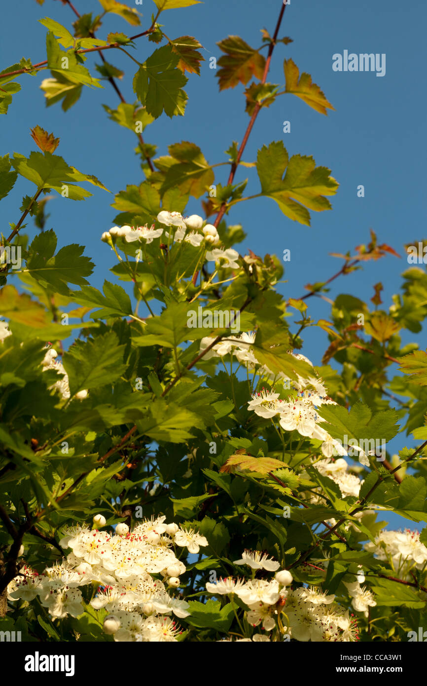 hawthorn tree with white flowers on sky - Stock Image