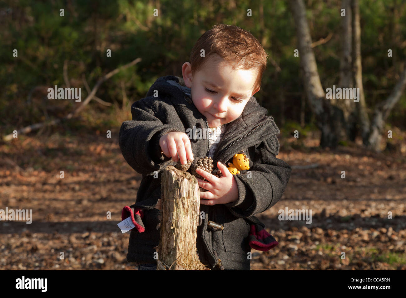 Small boy in a duffel coat balancing fir cones on a log stump outside in the forest - Stock Image