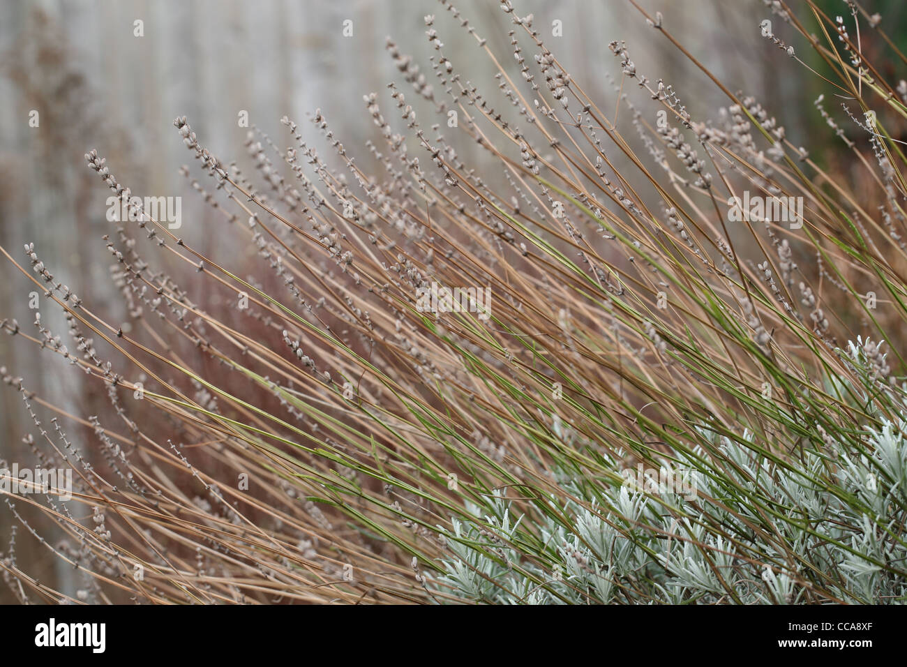lavender stems in winter - Stock Image
