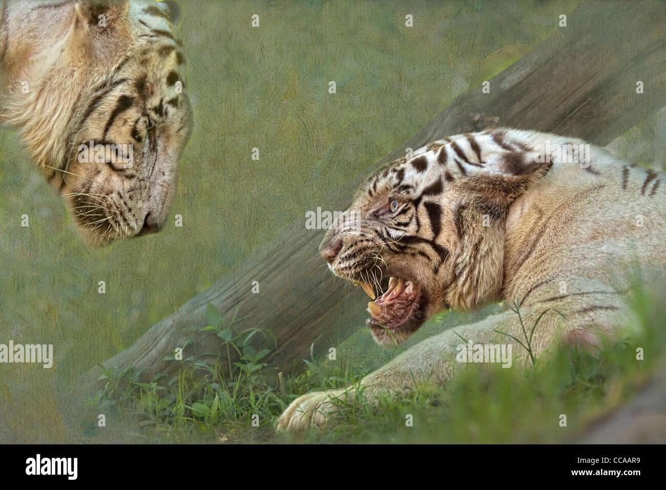 White tiger, panthera tigris, growling at her mate. - Stock Image