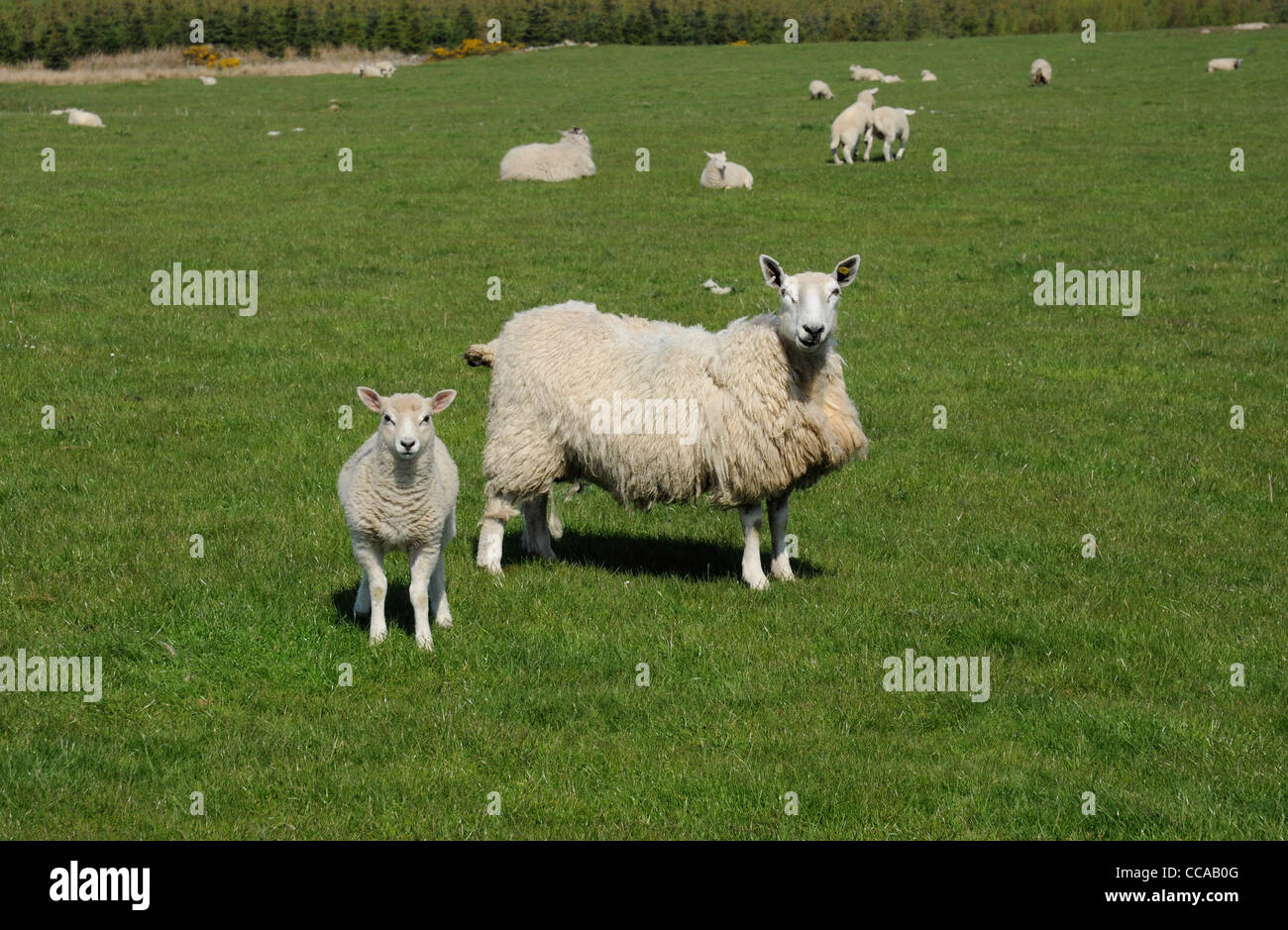 Sheep. Ewe and lamb in field, Dumfries and Galloway, Scotland, UK - Stock Image