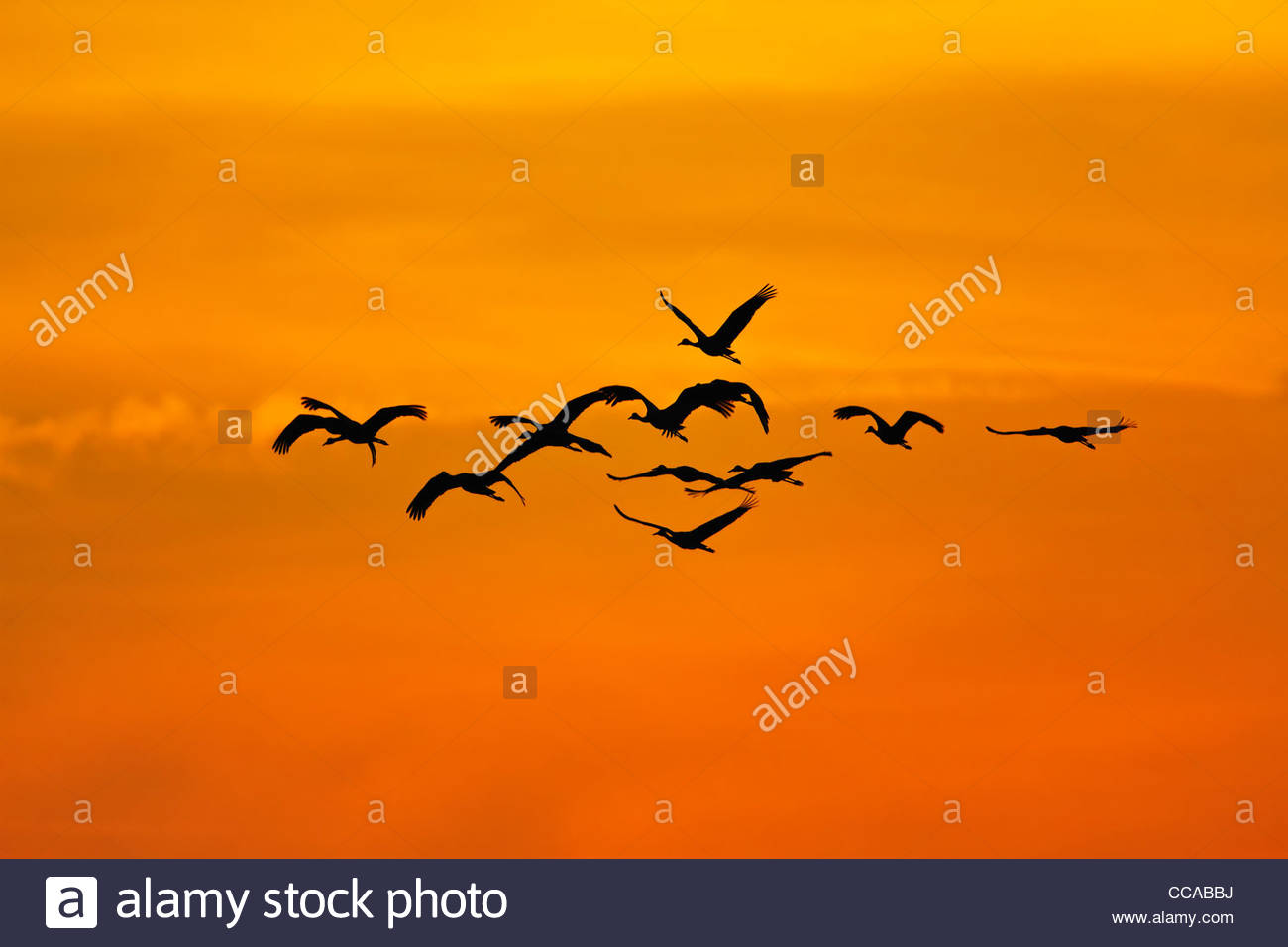 Sandhill Cranes flying out at sunrise - Stock Image