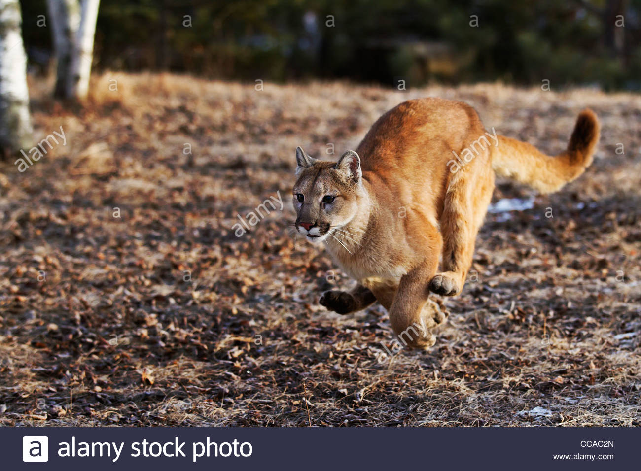 Mountain Lion (Felis concolor) also called a Cougar or Puma, adult female running .captive animal - Stock Image