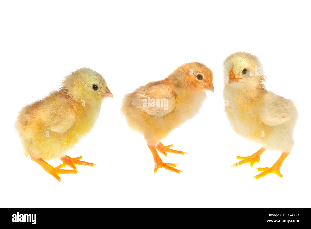 Three little newly hatched yellow easter chicks on a white background - Stock Image