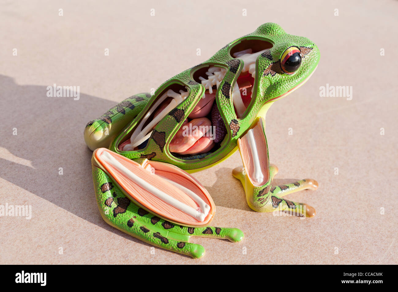 Frog anatomy model Stock Photo: 42026115 - Alamy