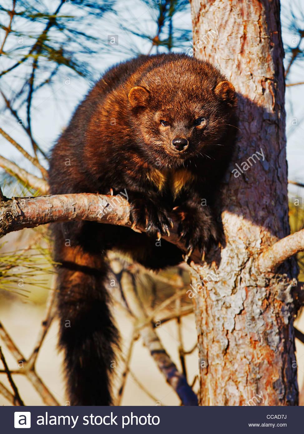 Fisher (Martes pennanti) captiver animal - Stock Image
