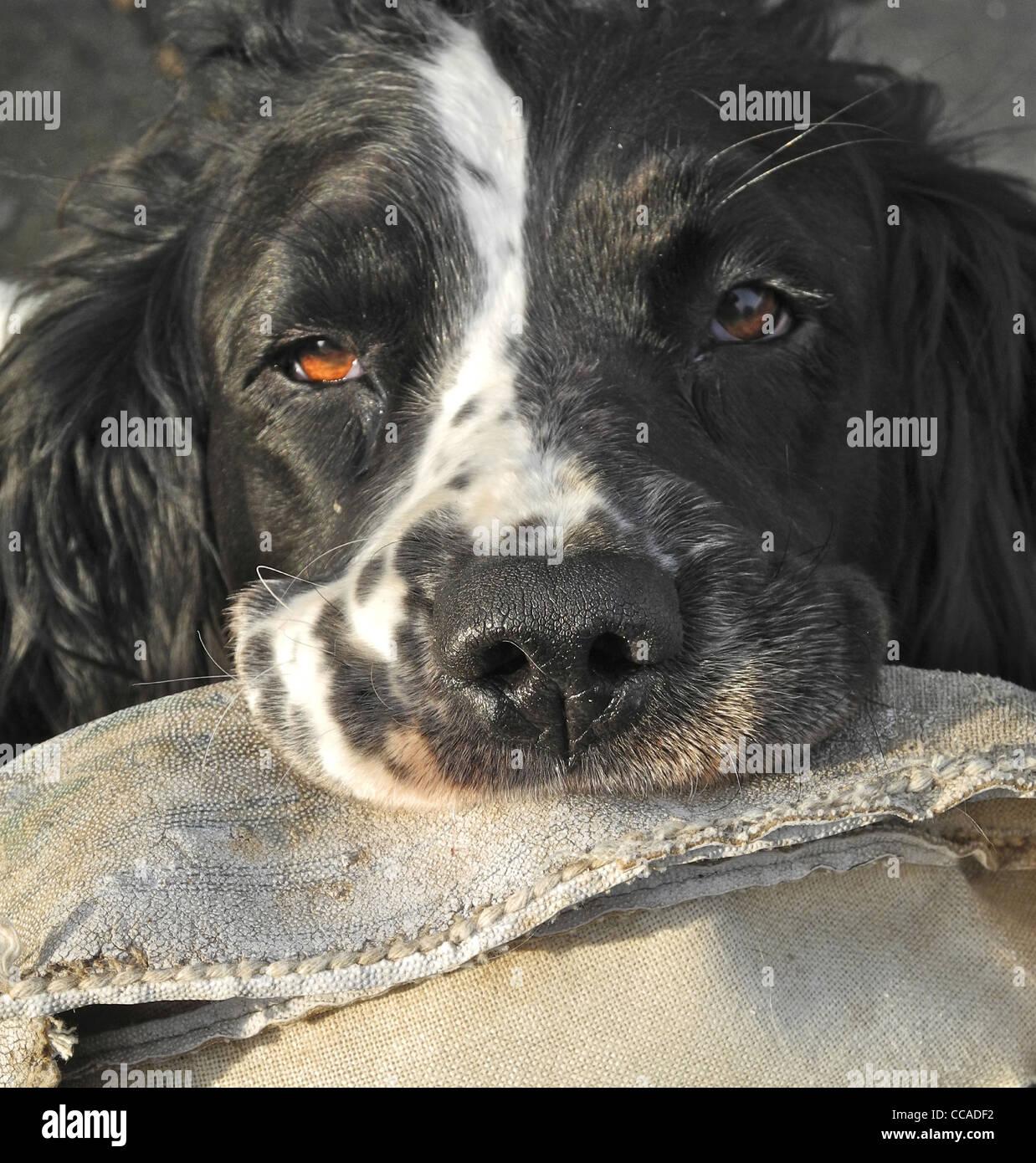 Sad dog, bad dog .... Springer Spaniel Emma with a destroyed rugby ball - Stock Image