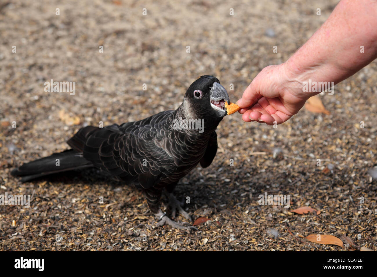 A Carnaby's Black Cockatoo is fed by hand at the Black Cockatoo Rehabilitation Center at Nannup, Western Australia, - Stock Image