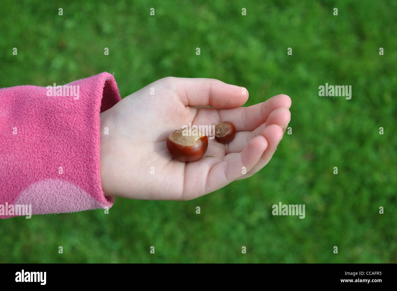 Child holding Horse Chestnut  Seeds (Conkers) - Stock Image