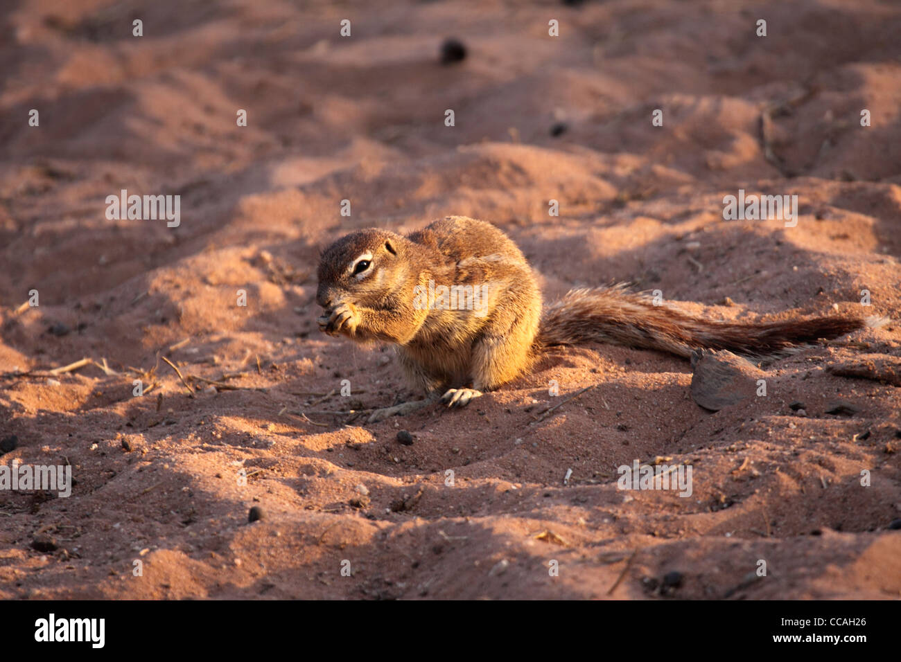 Southern African ground squirrel feeding in desert - Stock Image