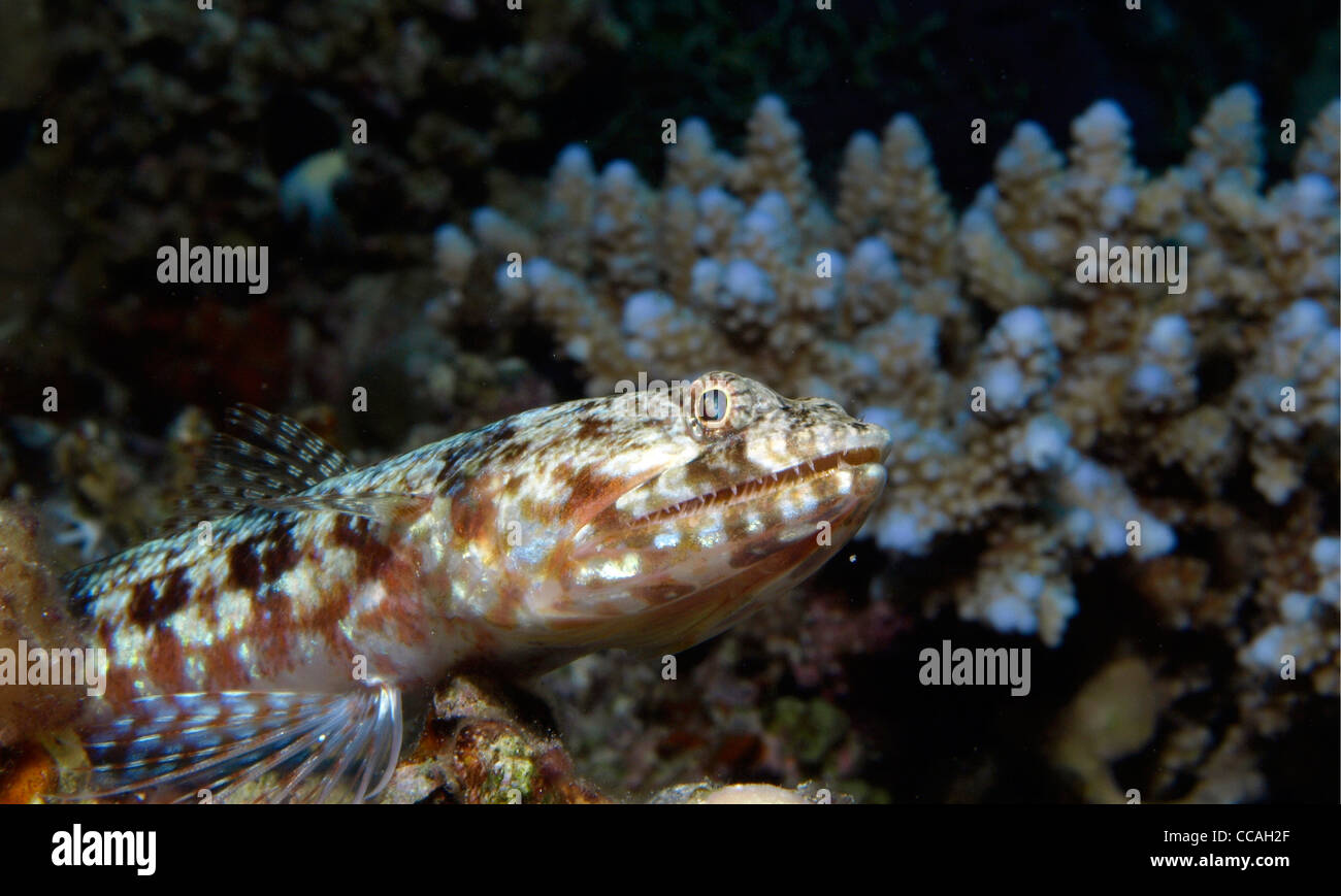 lizard fish and coral reef - Stock Image