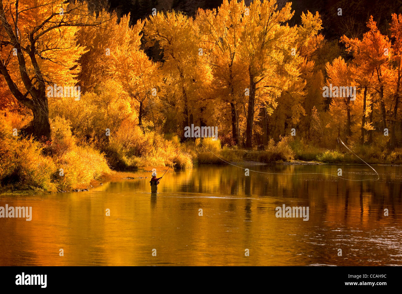 Fly fisherman spey casting for steelhead-rainbow trout in Autumns golden light, Main Salmon River, Idaho - Stock Image
