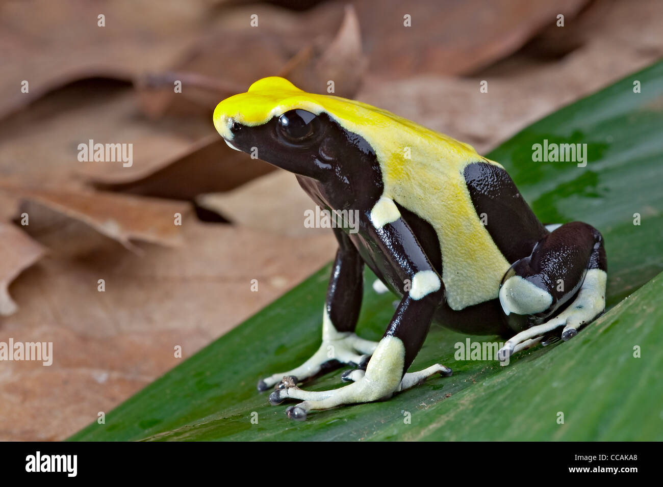 yellow back poison dart frog, Dendrobates tinctorius, Amazon rain forest Suriname - Stock Image