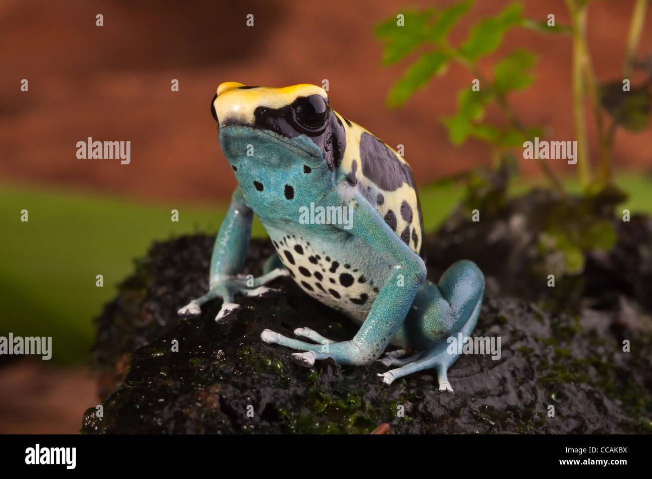 poison dart frog, Dendrobates tinctorius, Suriname - Stock Image