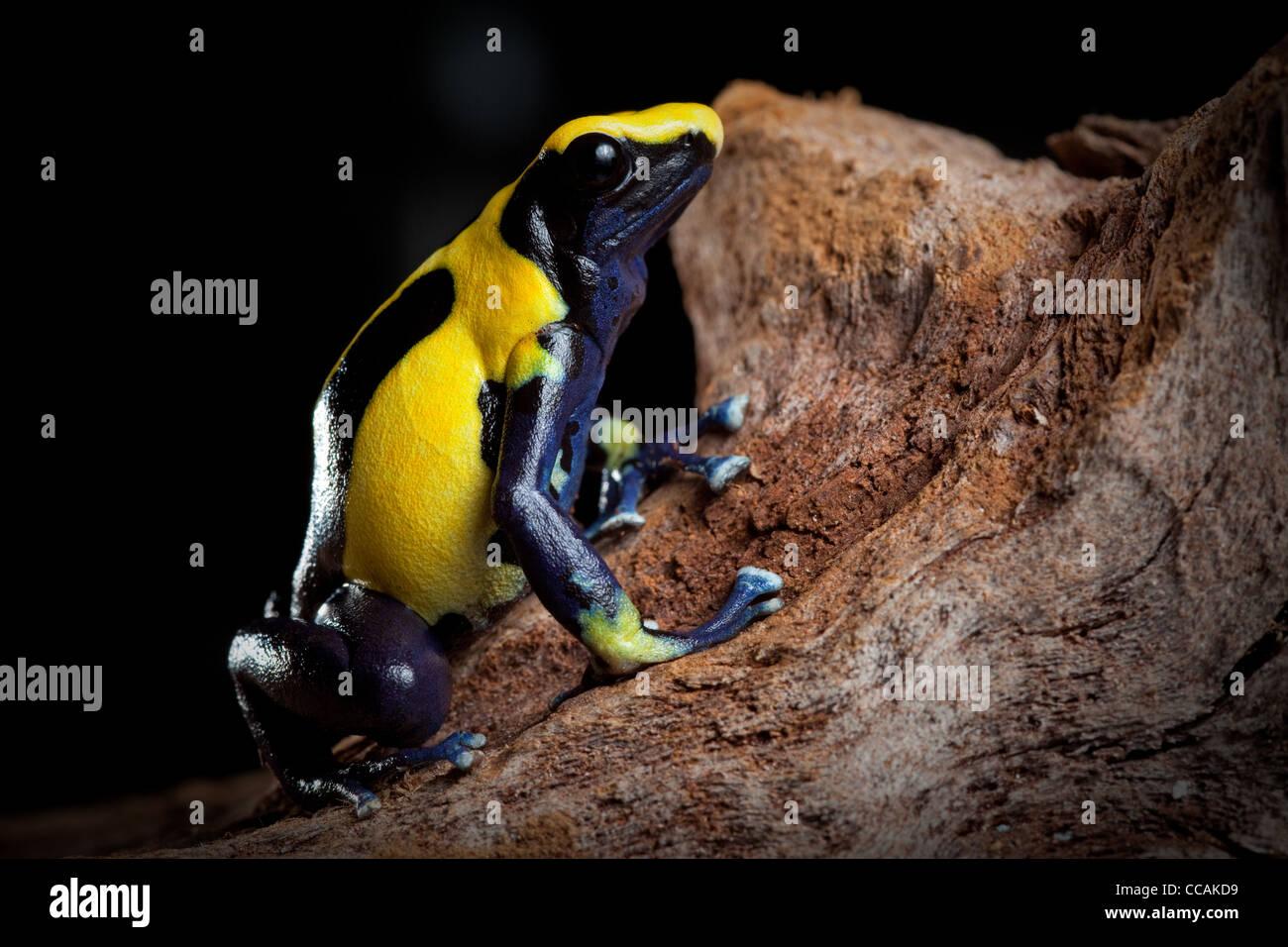 Yellow blue and black poison dart frog, Dendrobates tinctorius, Nikita morph, of Amazon rain forest Suriname - Stock Image