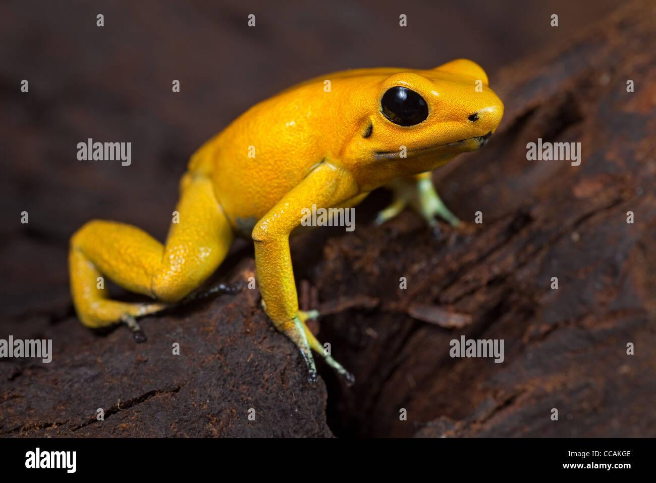 phyllobates terribilis golden poison dart frog in amazon rain forest