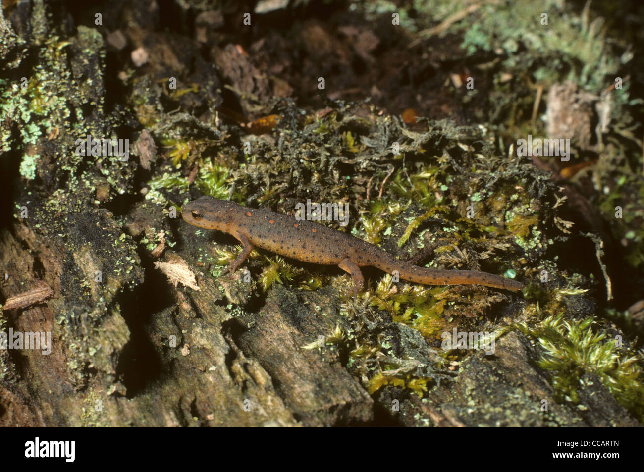 Red Spotted Newt. Notophthalmus viridescens Ontario. Canada Stock Photo