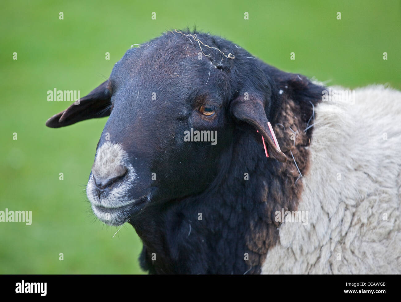 Somali Black Headed Sheep - Stock Image