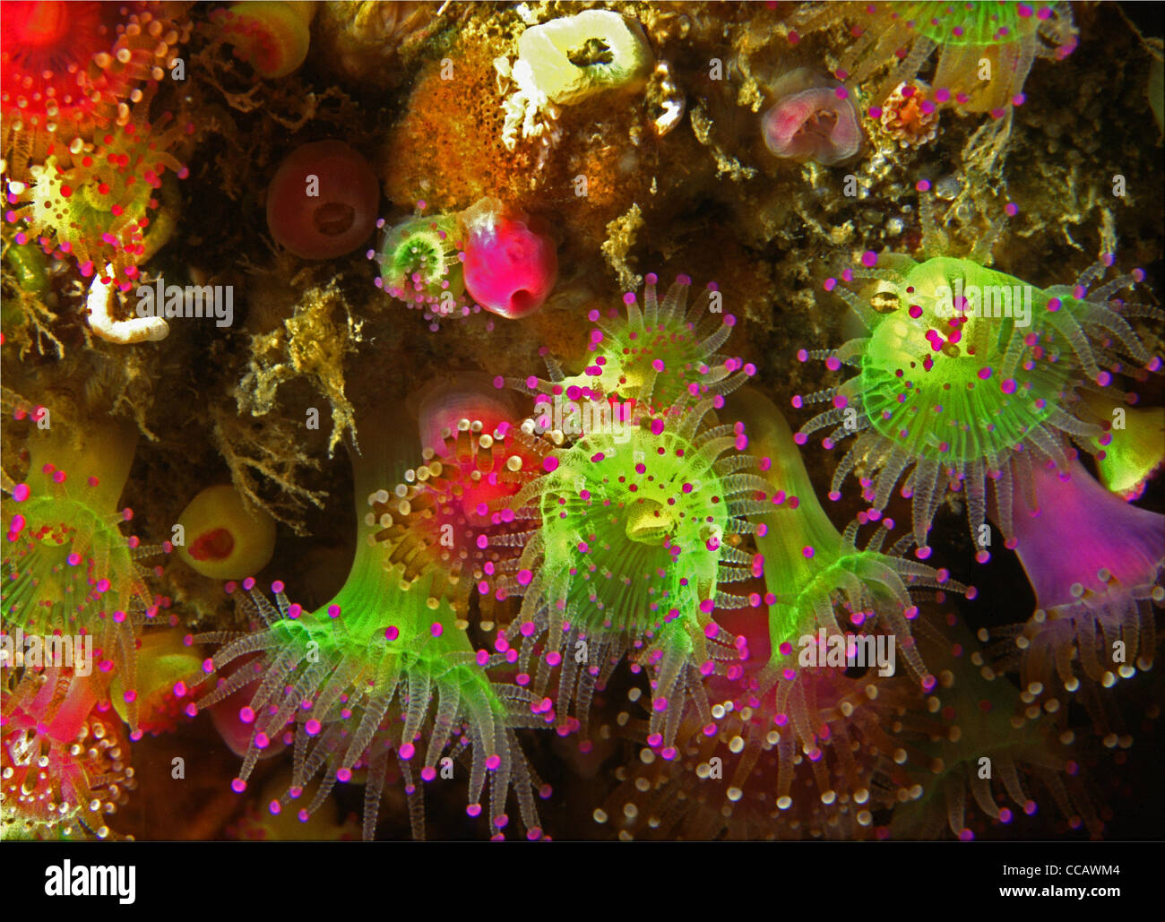 A wall of jewel anemones, Corynactis viridis, on the Eddystone Reef, 12 miles out from Plymouth Sound, Sourhwest - Stock Image