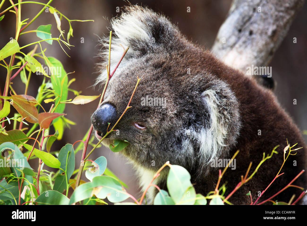 A koala (Phascolarctos cinereus) feeds on eucalyptus leaves, Yanchep National Park, Western Australia, Australia. - Stock Image