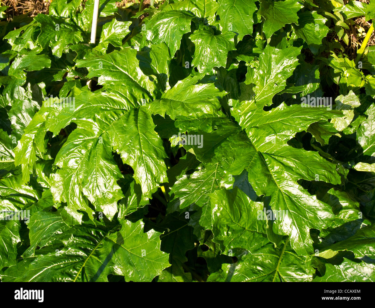 Leaves of Acanthus Mollis - Stock Image